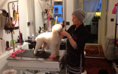 Kvinna som friserar en vit hund.