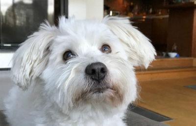 Foto på hunden Doggie, av rasen Coton de Tuléar.